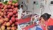 பீகாரில் 125  குழந்தைகள் இறப்புக்கு லிச்சி பழம் காரணமா? ஆய்வு முடிவால் வட இந்தியாவில் பீதி