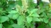 புரட்டாசி சனி பெருமாள் தரிசனம்: நோய்களை விரட்டும் துளசி தீர்த்தம்