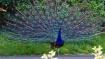 வாவ்.. திருப்பூரில் சாலையில் தோகையை விரித்தாடிய மயில்.. கண்களுக்கு விருந்தான காட்சி- வைரல் வீடியோ!