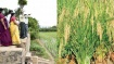 மூட்டைக்கு ரூ.3,000 வரை விலை... சீரகசம்பா நெல் சாகுபடியில் அசத்தும் திருச்சி பெண் விவசாயி..!