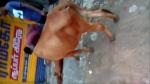 ஊரடங்கை மீறி வெளியே வந்த நபரின் வேன் மோதி இறந்த கன்றுக்குடி.. உதவிக்கு அழைத்த பசு