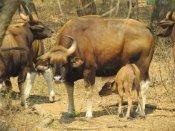 வண்டலூர் பூங்காவில் கன்று ஈன்ற காட்டு மாடு... மொத்த எண்ணிக்கை 18 ஆனது!