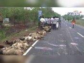 சும்மா போன ஆட்டு மந்தைக்குள் புகுந்தது மினி லாரி… துடிதுடிக்க 40 ஆடுகள் பலி: வீடியோ