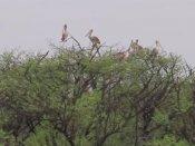 இடி மின்னலுடன் கூடிய கனமழையால் கூத்தன்குளம் சரணாலயத்தில் 300 பறவைகள் உயிரிழப்பு