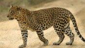 ஹெட்போனில் பாட்டுக் கேட்டுக் கொண்டிருந்த சிறுமியை தூக்கி சென்ற சிறுத்தை..  விபரீதம்
