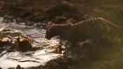 குழம்பிய குட்டையில் மீன் பிடிக்கும் சிறுத்தை... எல்லாம் பசிக்கொடுமை.. வேறென்னத்தச் சொல்ல..!
