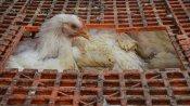 உலகில் முதன்முதலாக.. H5N8 பறவைக் காய்ச்சல் பாதித்த நபர் - சிக்கன் பற்றி முக்கிய அறிவிப்பு