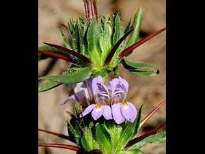 http://tamil.oneindia.in/img/2011/10/09-asteracantha-longifolia2-30.jpg