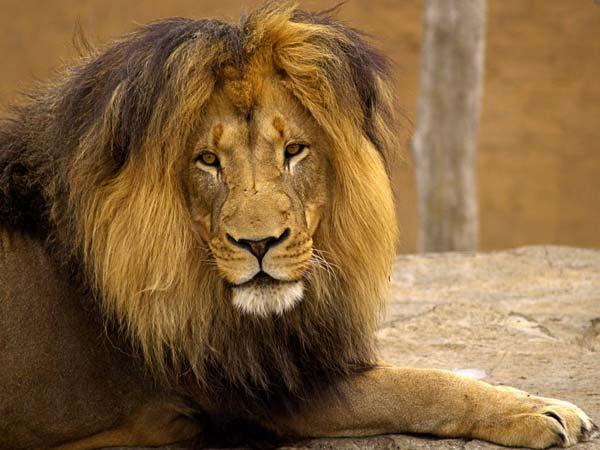 ... : Lion kills siste...