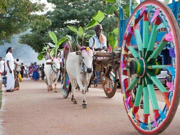கருணாநிதி, ராமதாஸ், கொண்டாடிய பொங்கல் திருவிழா 15-1389767741-pongal-fest3-600