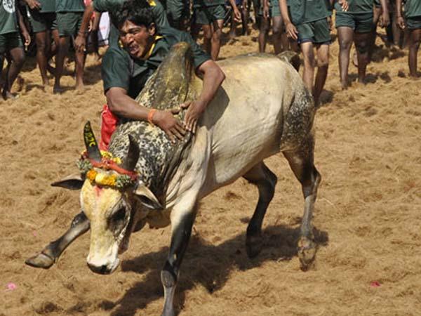 பாலமேடு ஜல்லிகட்டு சீறிபாய்ந்த காளைகளை மடக்கிய வீரர்கள்: அவனியபுரத்தில் 35 பேர் காயம் 15-1389770997-jallikattu-2-600