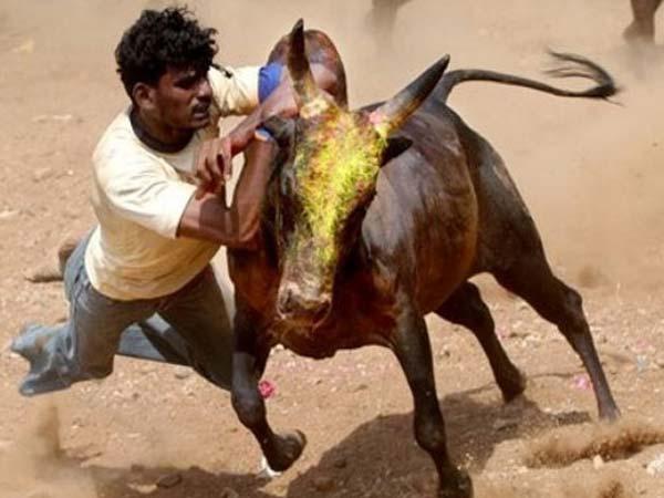 பாலமேடு ஜல்லிகட்டு சீறிபாய்ந்த காளைகளை மடக்கிய வீரர்கள்: அவனியபுரத்தில் 35 பேர் காயம் 15-1389771005-jallikattu-3-600