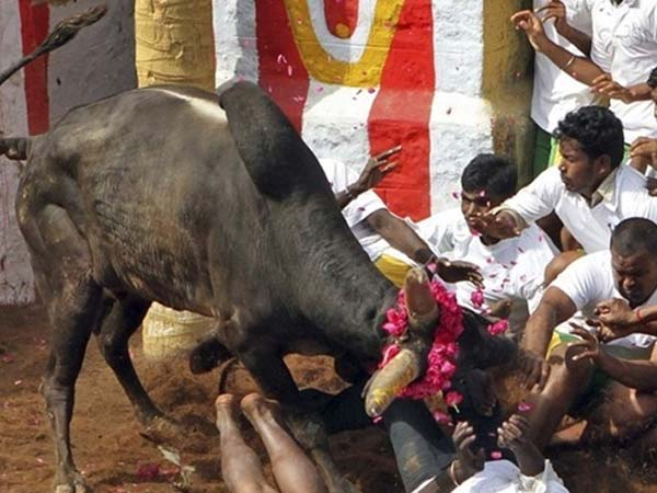 பாலமேடு ஜல்லிகட்டு சீறிபாய்ந்த காளைகளை மடக்கிய வீரர்கள்: அவனியபுரத்தில் 35 பேர் காயம் 15-1389771015-jallikattu-11-600