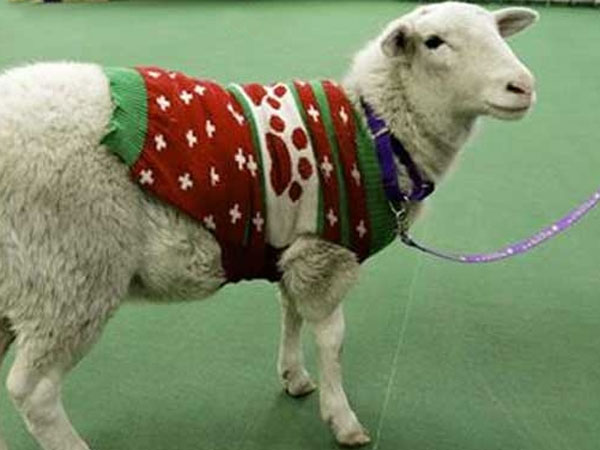 Owner reclaims lost sheep found wearing a red-and-green holiday sweater with leads from Facebook!