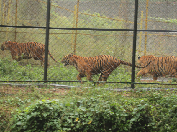 Tiger cubs are back to old place in Vandalur zoo