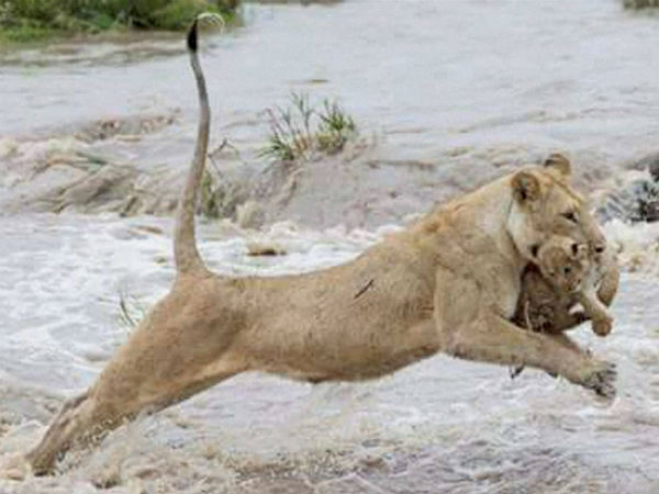 ... | Lioness saves it...