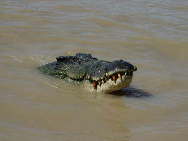 Crocodiles escape from Chennai farm?