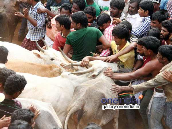 Withdraw Jallikattu ban plea or resign: Govt tells animal board