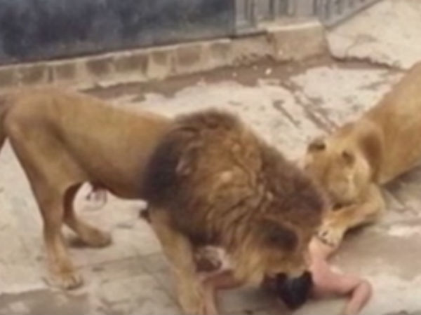 Lions shot after man jumps into enclosure, strips