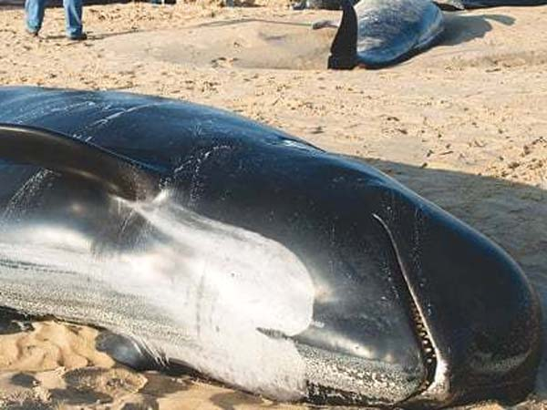 8 Pilot Whales Dead in Indonesia