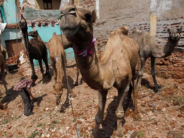 Madras high court bans camel slaughter in TN