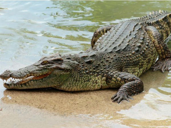 Flood brought Crocodile in Northern states