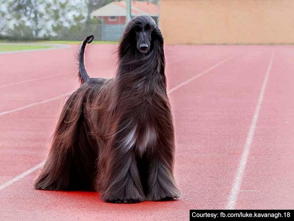 An Aussie dog becomes internet sensation