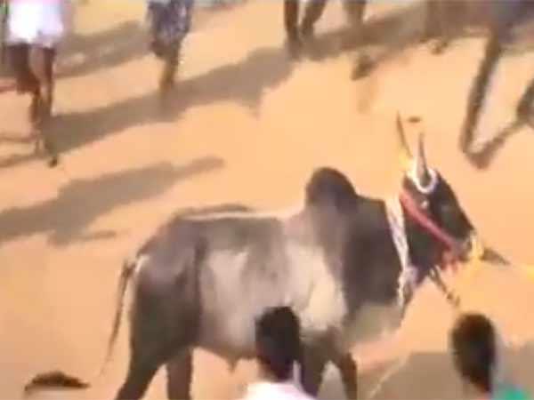 ஈரோட்டில் பாஜகவின் ஜல்லிக்கட்டு முறியடிப்பு.. மாடுகளை விட்டு விட்டு மிரண்டு ஓடிய பாஜகவினர்