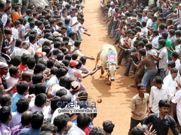 Jallikattu held in AP's CM hometown
