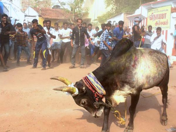TN Governor passes Jallikattu ordinance