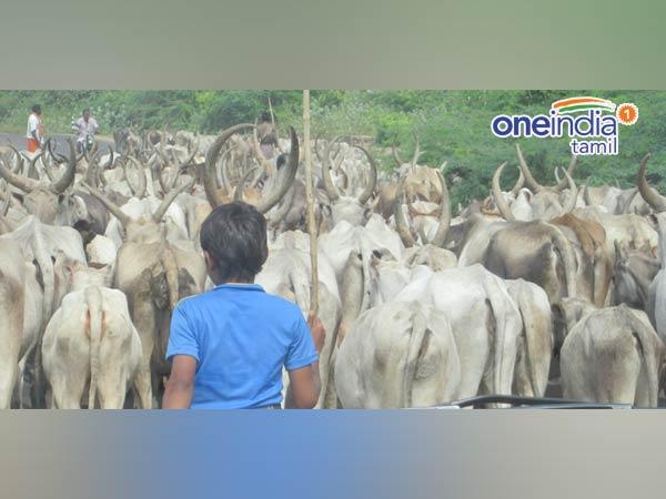 Jallikkatu, a mini Pongal special series