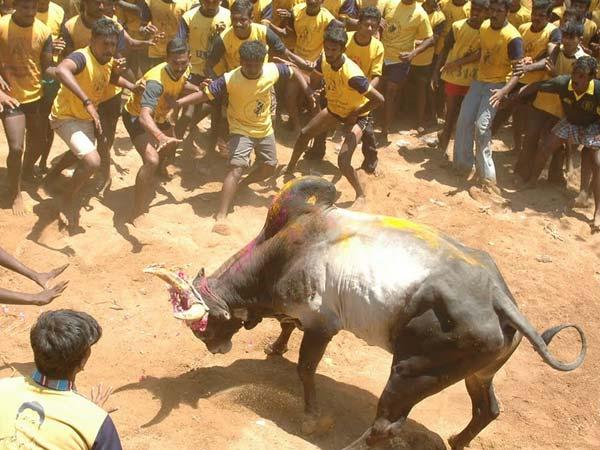 Sri Lanka Ministers's 3 bulls in Alanganallur Jallikattu