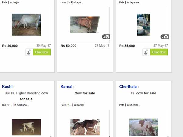 Online cattle sales hiked in olx and quikr websites