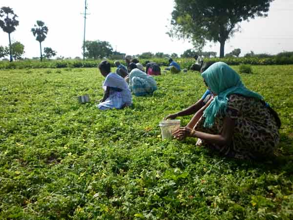 Thirunelveli redchilli farmers were struggling for farming because of lack of water