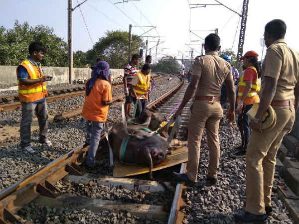 2 Buffaloes died in railway track
