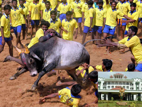 People arranging Jallikattu without Official Permission can be punished orders Madurai HC