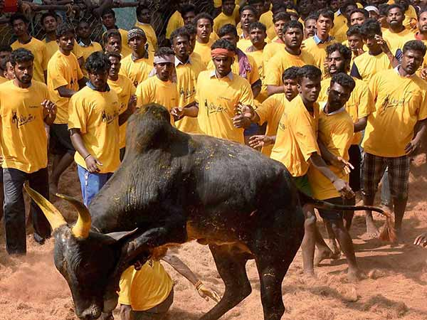 Tamilnadu is getting ready to witnessing the Action packed Jallikattu