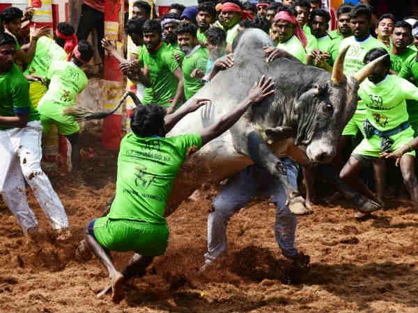 தமிழகத்தில் இந்த வருடம் நடைபெற்ற ஜல்லிக்கட்டுகளை சட்ட விரோதமாக கருத முடியும்: ஹைகோர்ட் கிளை தடாலடி