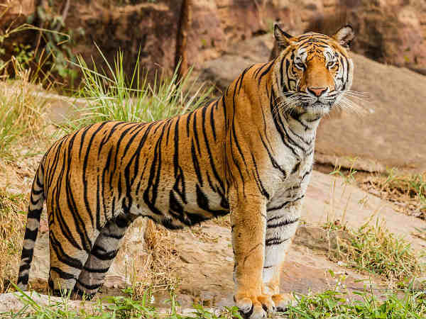 Website opened for Thirunelveli tiger sanctuary