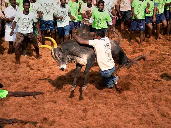 jallikattu celebrated in maurai chathirappati village