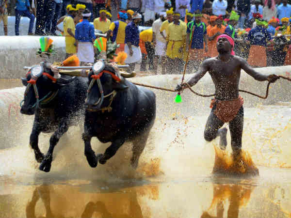 SC rejects to impose ban on Kambala sport