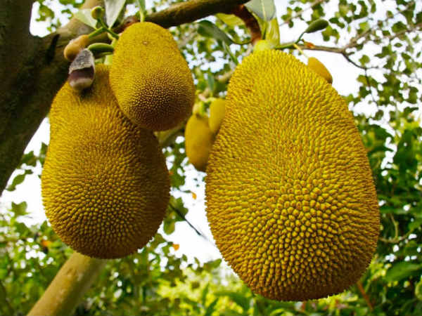 Jackfruit is to be announce as Keralas state fruit