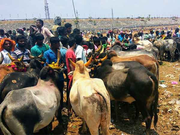 Jallikattu conducts in Viralimalai