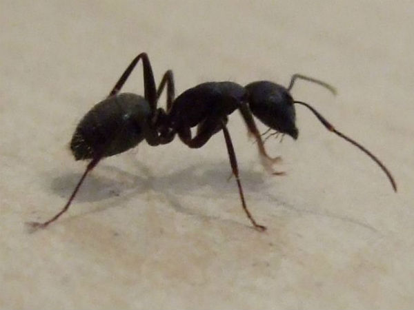 Kerala Woman Dies In Saudi Arabia After Poisonous Ant Bite