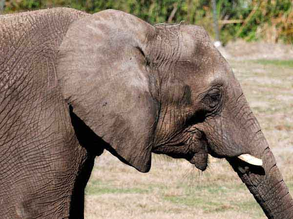 A woman dead after elephant attack in Temple at Nellai