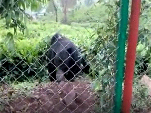 The people of Kotagiri are afraid of the bear.