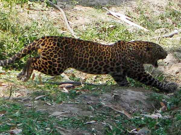 Lady Attacks By A Leopard Near Valparai