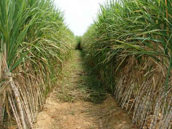 Central Governement to give 8000 crores Sugarcane Farmers