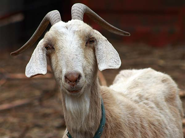 Pregnant goat dies because 8 person sexually assaulted