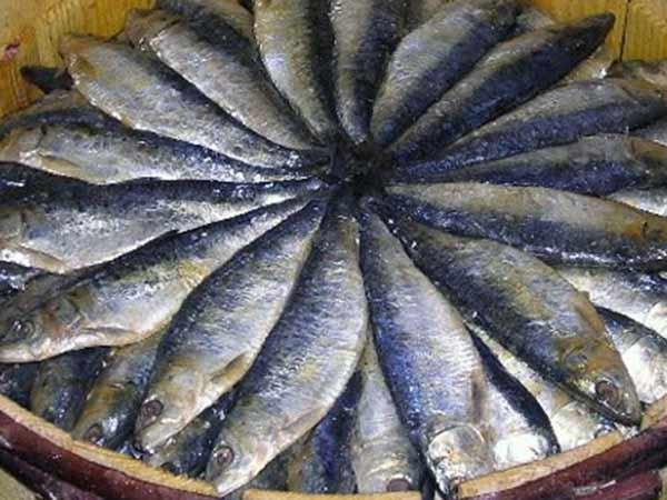 டன் கணக்கில் குவிந்த மத்தி மீன்கள்.. மகிழ்ச்சியில் அள்ளி குதித்த கடலூர்  மீனவர்கள் | Cuddalore Fishermen are happy because they have a lot of  Sardine fish - Tamil Oneindia